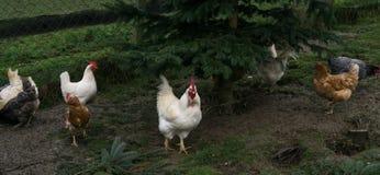 Free-range chiken. hens cock Stock Photos