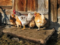 Free Range Cock and Hens outdoors Stock Image