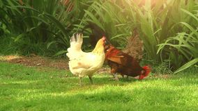Free Range Cock and Hens. Sunlight. HD. 1920x1080 stock video