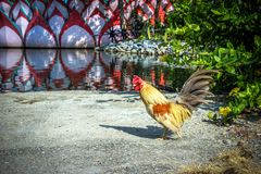 Free Range Cock near a pond. And tree Royalty Free Stock Photography