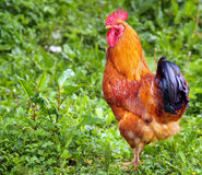 Free range cockerel  Stock Photo