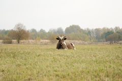 Free range cow lying in green grass selective focus Royalty Free Stock Images