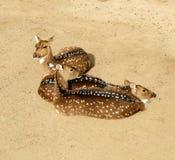 Free range deer. Antelope Royalty Free Stock Image