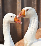 Free Range Domestic Geese Stock Photography