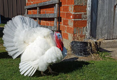 Free range domestic turkey Royalty Free Stock Photo