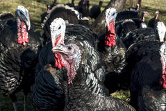Free range domestic turkeys Royalty Free Stock Photography