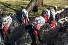 Free range domestic turkeys Royalty Free Stock Images