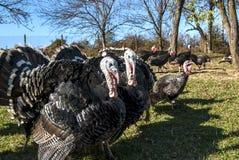 Free range domestic turkeys Stock Images