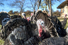 Free range domestic turkeys Stock Photo