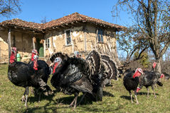 Free range domestic turkeys Stock Photos