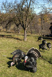 Free range domestic turkeys Royalty Free Stock Photos