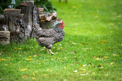 Free Range Dominique Chicken in a Farm Field Royalty Free Stock Photos