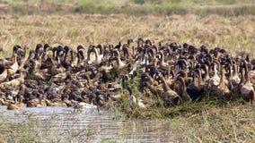 A free range duck farm Stock Photography
