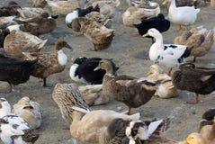 Free range duck farm Royalty Free Stock Photo