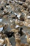 A free range duck farm Stock Image