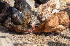 Free range farm hens Stock Image