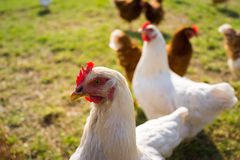 Free range foraging chickens Stock Photos