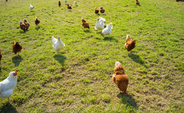 Free range foraging chickens Royalty Free Stock Photos