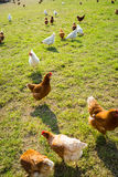 Free range foraging chickens Royalty Free Stock Image