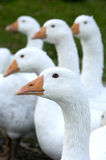 Free range geese. Penetrating gazes of white domestic geese royalty free stock photography