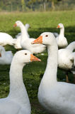 Free range geese. Penetrating gazes of white domestic geese royalty free stock photos