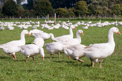 Free range geese Stock Image