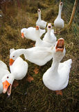 Free range geese Royalty Free Stock Photos