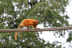 Free-range Golden Lion Tamarin. Free-range tamarin running along a rope at Houston Zoo Stock Photos