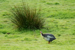 Free range Helmeted Guinea fowl Royalty Free Stock Images