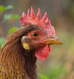 Free range hen Royalty Free Stock Images