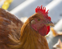 Free Range Hen Closeup Royalty Free Stock Photo