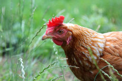 Free range hen in the grass Royalty Free Stock Photo