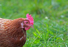 Free range hen in the meadow Stock Photos