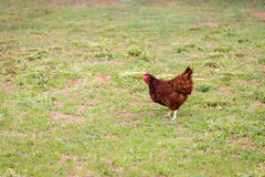 Free Range Hen in Pasture Royalty Free Stock Images