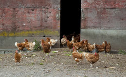 Free Range Hens Royalty Free Stock Photos