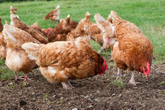 Free Range Hens Royalty Free Stock Photography