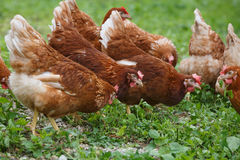 Free-range hens (chicken) on an organic farm Royalty Free Stock Images