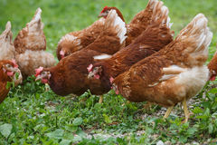 Free-range hens chicken on an organic farm Royalty Free Stock Photography