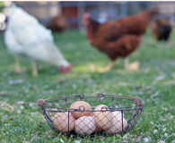 Free range hens and eggs Stock Image