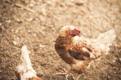 Free range hens Stock Photo
