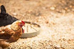 Free range hens Stock Image