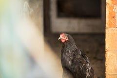 Free range hens Stock Photos