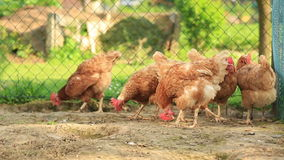 Free Range Hens in a farmyard stock video