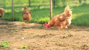 Free Range Hens in a farmyard stock footage
