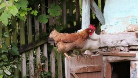 Free range hens fight stock video