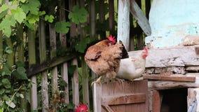 Free range  hens stock footage