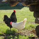 Free range hickens on a farm Stock Photography