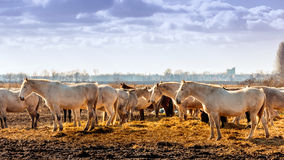 Free-range horses in Europe. Stock Photography