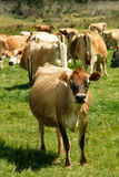 Free range Jersey dairy cows on a farm Royalty Free Stock Photos