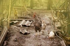 Free range living chicken on  farm. Hens  roam freely in green paddock. Free rang hens farm. Happy organic hens. Chickens freely roaming on a farm stock images